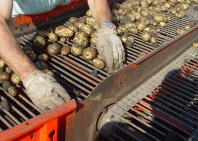 potatis4